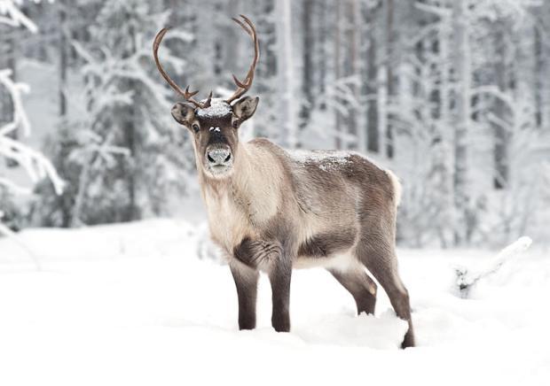 reindeer_in_northern_sweden